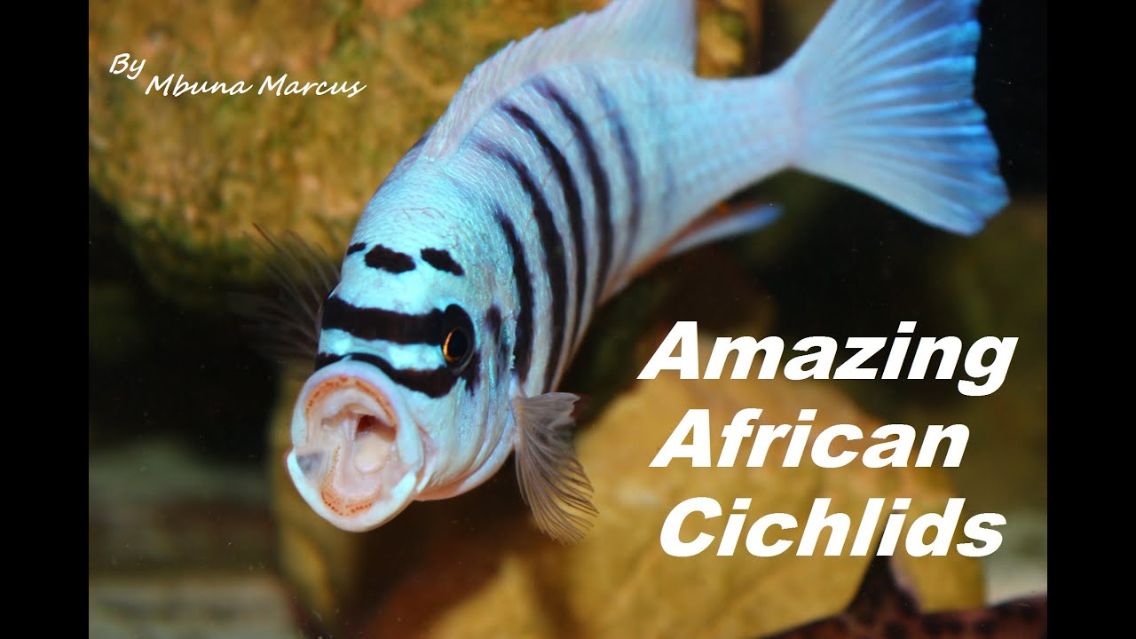 Very colorful freshwater aquarium fish - African Cichlids Most Beautiful Freshwater Aquarium Fish