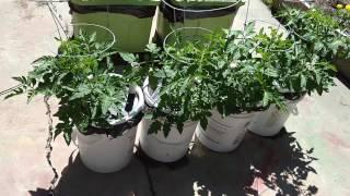 Self Watering Container Garden Journal - Week 4, June 17, 2016