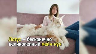Лотос - огромный кот мейн-кун из Швеции