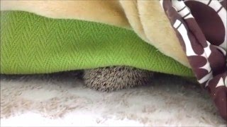 寒がりのハリネズミ、コタツの中に身を潜める