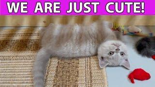 Gatitos británicos de pelo corto jugando adorables !!! Videos de gatos lindos y divertidos