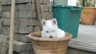 Westie Puppy Potty Training