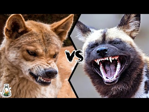 DINGO VS AFRICAN WILD DOG - Who Would Win This Battle?