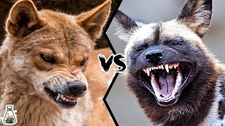 DINGO VS AFRICAN WILD DOG - Who would win this battle? YouTube Videos