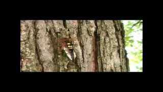 Cicada Killer Wasp vs Cicada