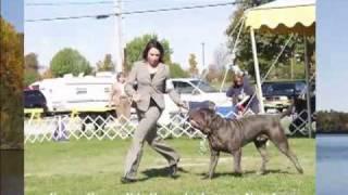 Neapolitan Mastiffs Ramapo Kennel Club,augusta New Jersey,neapoltan Mastiffs