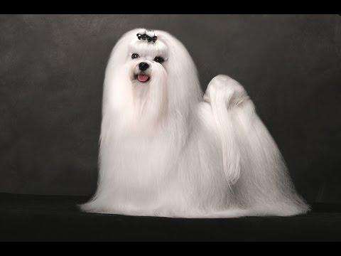 White Maltese -DOG LOVERS ❤