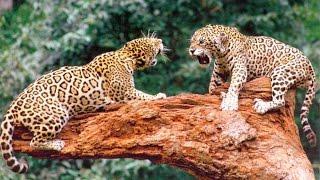 Животные мира Пустыни и саванны Материнское чувство Хищники Пик атаки Гепарды Дикая природа Африка