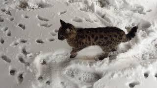 Savannah cat walking outdoor in winter. Савана кот гуляет по снегу