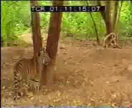 Monkey Fights with Tigers