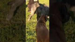 Irish wolfhound dance. Dog Park fun with Ruby Senior Rhodesian Ridgeback