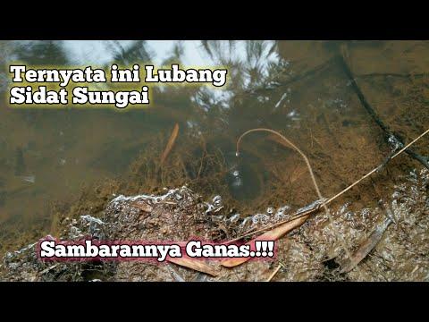 Ngurek/Mancing Sidat Babon di Spot Sungai.