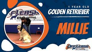 "1 Year Old Golden Retriever ""Millie"" 2 Week Board & Train   Northern Virginia Dog Trainers"