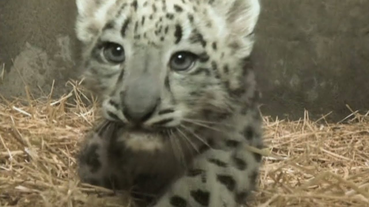 CUTE Snow Leopard Cub Gets Ready For Public Debut