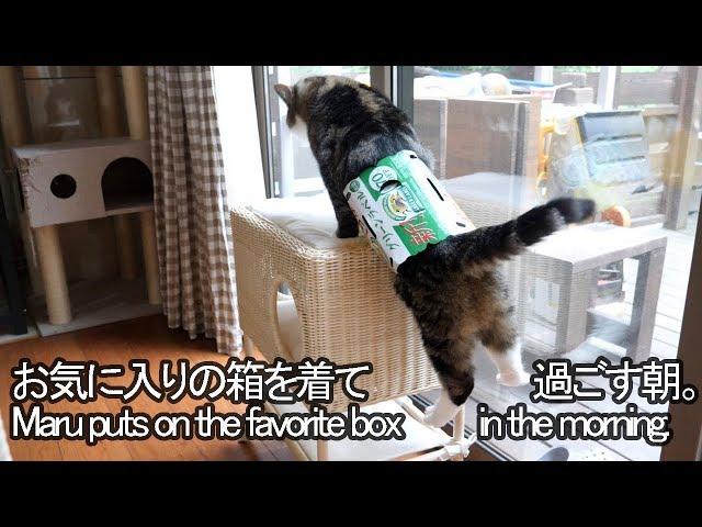 箱を着て1日を始めるねこ。-Maru puts on the box at the start of the day.-