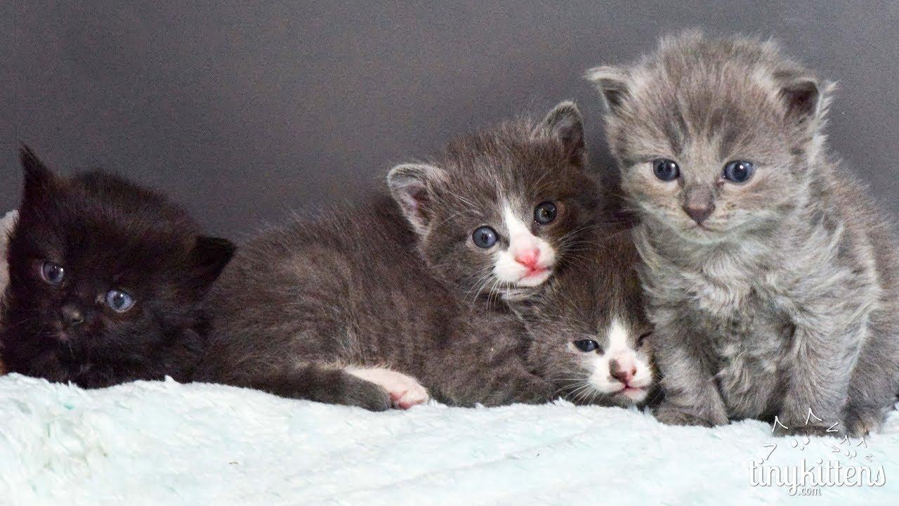 The Muppet Kittens TinyKittens