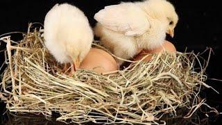 Расклёв яиц.(Что нужно делать если куры едят яйца., 2017-01-23T14:04:47.000Z)