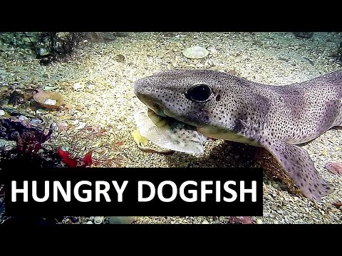HUNGRY DOGFISH