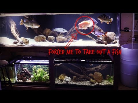 10 Inch Red Devil Cichlid = Dangerous Fish