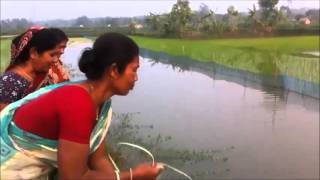 Integrated rice and fish farming in South Asia_resilience livelihood