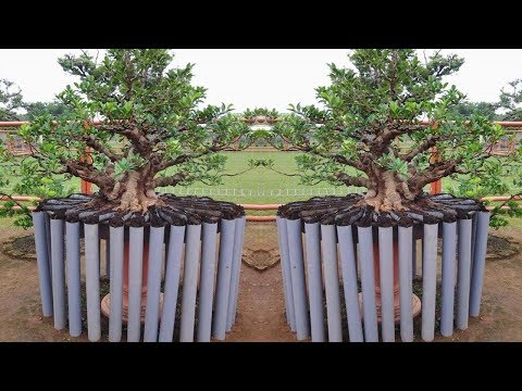 Phương pháp nuôi rễ bonsai 24h cực kỳ bá đạo