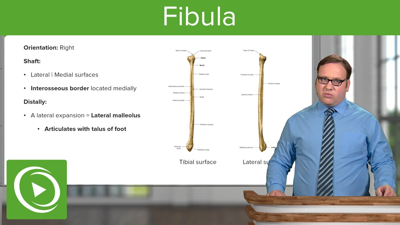 Osteology of the Fibula – Anatomy | Lecturio