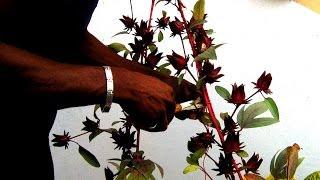 HARVESTING SORREL/Roselle: Agrosuede Backyard Gardening