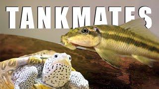 Turtle Tankmates - Algae Eater Success!