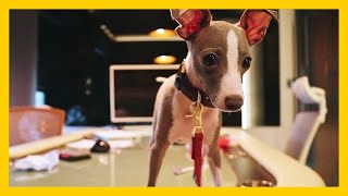 Taking Puppy to Work: first day at the office | italian greyhound