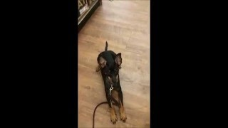 Houston dog training aggressive Min Pin Broady greeting people and off leash recall