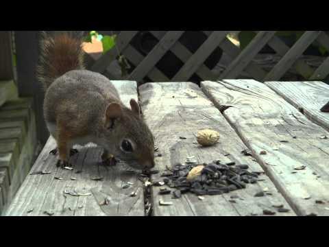 Chipmunk & Nursing Mommy Squirrel (August 27, 2011)