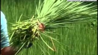 Hybrid Rice Seed Production Technology in english.mp4
