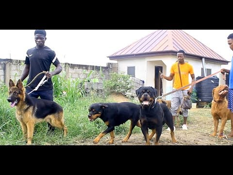 A Visit To Amonia's Dog Kennel. A Teacher Who Quitted His Work To Become A Successful Breeder