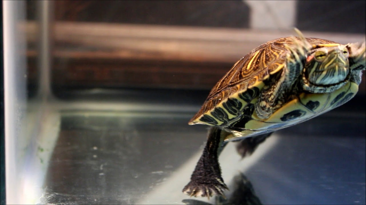 Pet Turtle Fluttering Claws At Own Reflection Youtube