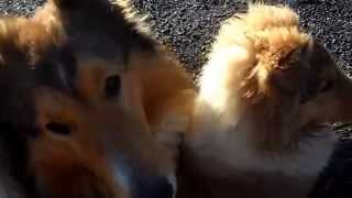 TERNURA Y AMOR ESPONTANEO**Rough Collies