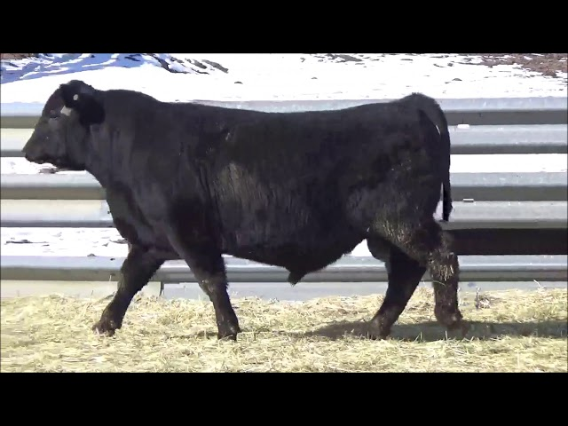 Connealy Angus Lot 356