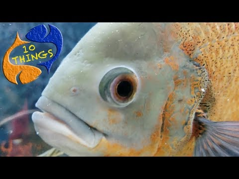 Don't Buy An Oscar Fish Unless You Watch This First!  10 Things You Should Know About Oscar Fish!