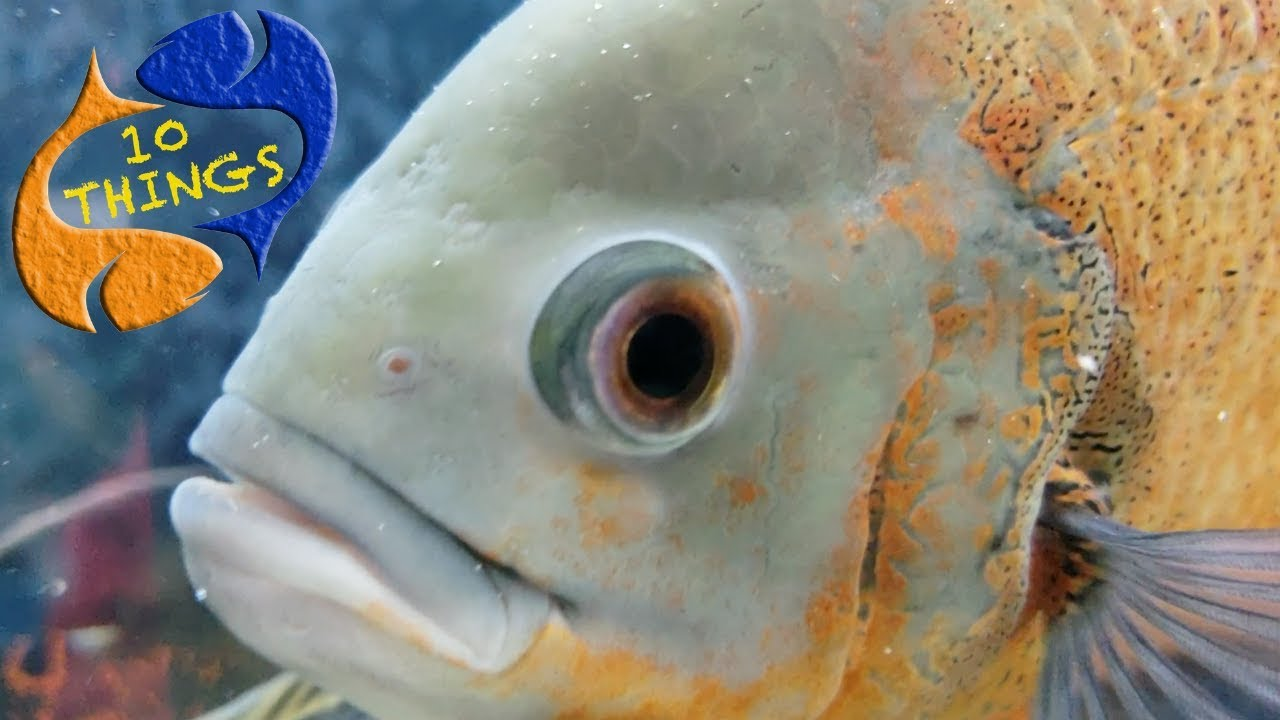 Don T Buy An Oscar Fish Unless You Watch This First 10 Things You Should Know About Oscar Fish Youtube