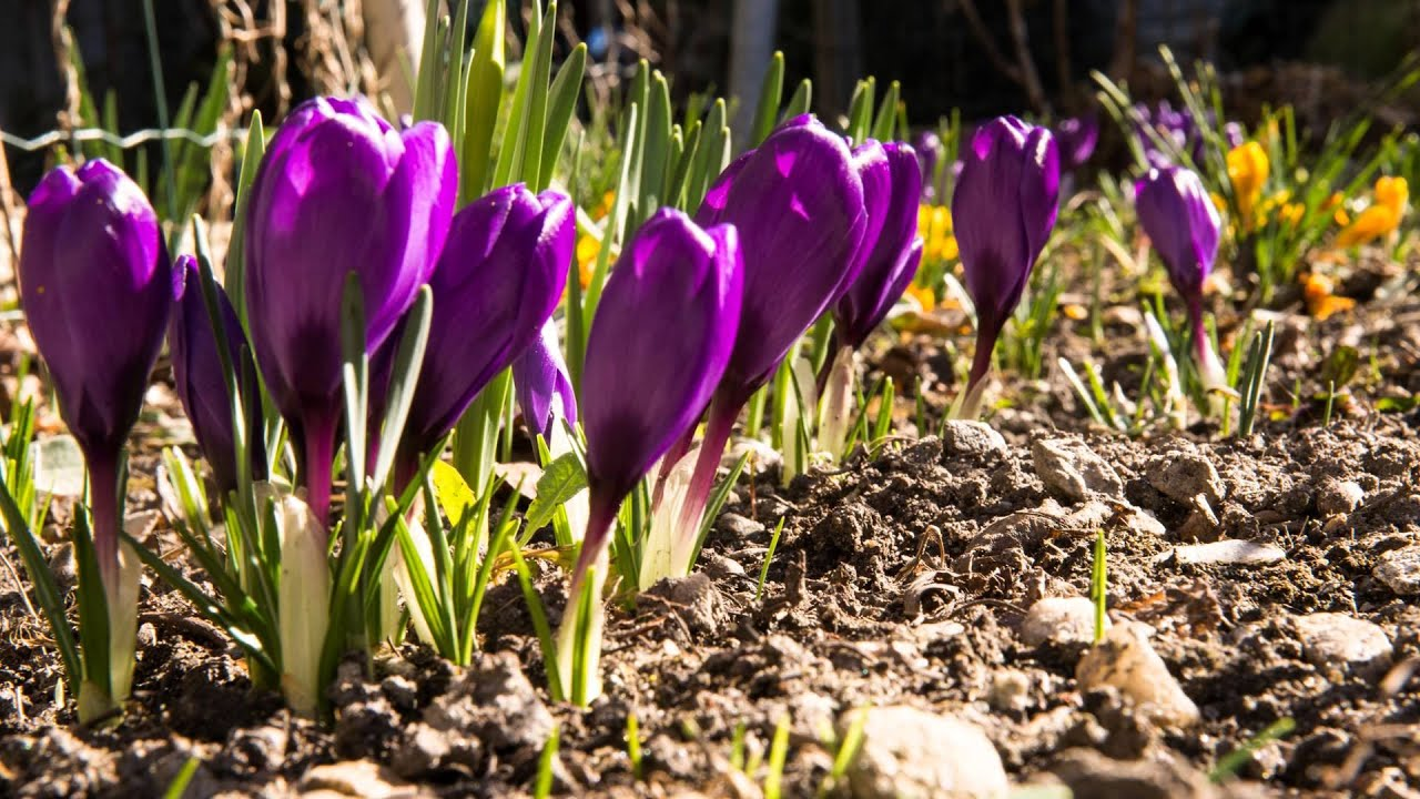 saffron crocus sativus is used for stomach problems. Black Bedroom Furniture Sets. Home Design Ideas