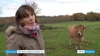 Élevage de veaux en pleine nature en Périgord