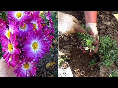 Размножение хризантем весной   Как получить крупные цветы хризантем
