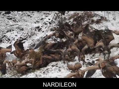 Lobos y buitres se disputan la comida en la montaña central leonesa