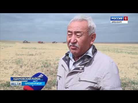 Шесть колосьев из одного зерна хлеборобы Адамовского района боятся сглазить урожай