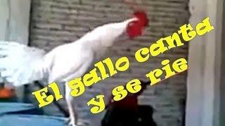 El gallo canta y suelta la risa a carcajada!!