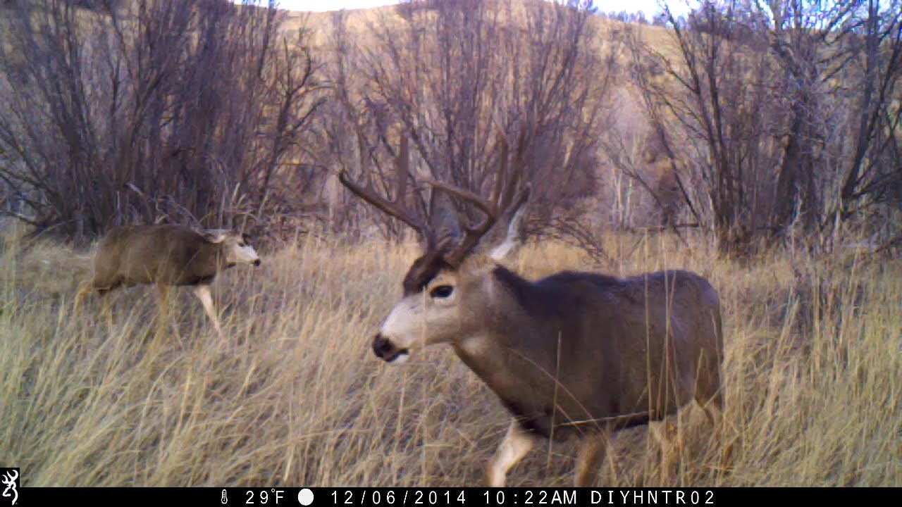 Mule Deer Bucks - Who's The Tough Guy?