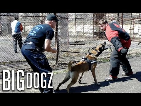 Training The World's Toughest Police Dogs | BIG DOGZ