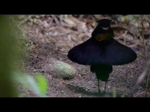 Ухажер. Райские птицы