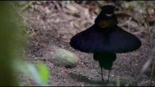 видео Райская вдовушка