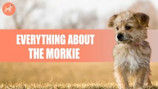 Morkie :The Complete Guide to Maltese Yorkshire Terrier Mix
