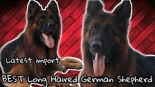 Long Hair German Shepherd ~ Chhina Dog Farm ~ Harjodh Singh Chhina ~ Import Dog ~ Scoobers